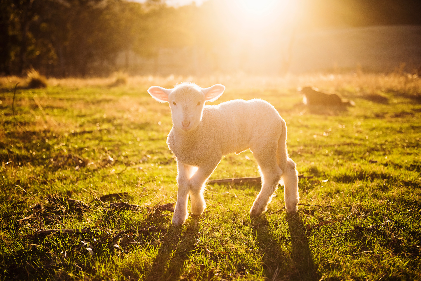 Canva - Shallow Focus Photography of White Sheep on Green Grass